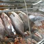MS – PMA confere estoque de duas peixarias em Campo Grande