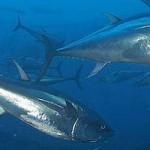 Comissão do atum pressionada para proibir pesca do atum-rabilho do Atlântico