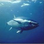 Cota mundial da pesca de atum vermelho vai cair 40% em 2010