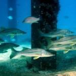 Proibida no Paraná pesca de robalo-flexa e robalo-peva entre novembro e dezembro