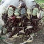 Mil caranguejos são devolvidos aos mangues em Bragança