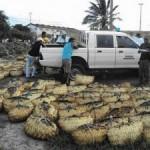Ibama apreende 6800 caranguejos no defeso no Maranhão
