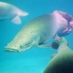 Tocantins – Fiscalização do Naturatins apreende 170 quilos de pescado em extinção