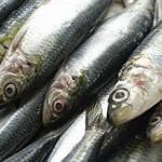 Defeso da sardinha termina em pleno carnaval