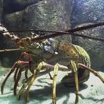 Ibama desfaz esquema de estocagem e comércio de lagosta ilegal no Ceará