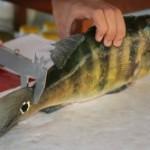 Técnicos defendem a regulamentação do tamanho máximo na pesca