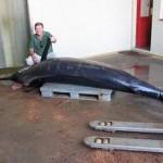 Marlin de 430 quilos capturado na Fajã dos Padres