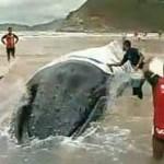 Baleia encalhada em Búzios morre após nova tentativa de resgate
