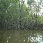 Inpe pesquisa ameaça a manguezais no litoral paulista