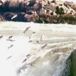 Piracema em Mato Grosso a partir de 1º de novembro