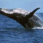Pesquisadores encontram baleia que sobreviveu após ser devolvida ao mar
