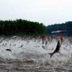 Piracema começou ontem nos rios da bacia do Araguaia; fiscalização se intensifica
