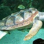 Projeto Tamar começa estudo para preservar tartarugas marinhas