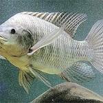 Pesquisa inédita da Unisanta identifica peixes presentes nos canais de Santos