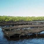 Produtoras de ostras de Ipioca querem acesso a mercado