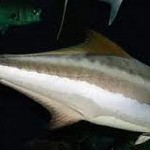 Bahia Pesca inicia segunda fase da reprodução do peixe bijupirá em cativeiro