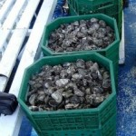 Rio Grande do Norte quer aumentar cultivo de ostras