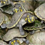 Mais de 53 mil filhotes de quelônios são soltos em Juruti /PA