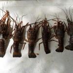 Ibama faz doação de lagosta apreendida no Ceará