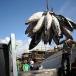 Pesca excessiva ameaça 30% das populações de peixes