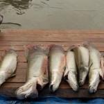 Amazonas – Pescadores de reserva dão exemplo de manejo do pirarucu