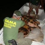 Pará – No Rio Xingu Ibama resgata 16 tartarugas-da-amazônia de pescadores ilegais