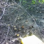 Paraíba – Devolvidos ao mangue caranguejos-uçá apreendidos durante andada