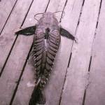 Macapá – Durante pesca esportiva peixe de couro assusta turistas